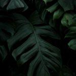 Een prachtige Leiboom Laurier in jouw achtertuin